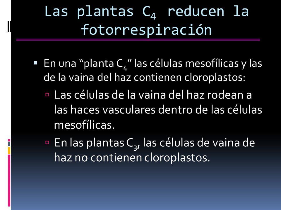 Las plantas C 4 reducen la fotorrespiración En una planta C 4 las células mesofílicas y las de la vaina del haz contienen cloroplastos: Las células de la vaina del haz rodean a las haces vasculares dentro de las células mesofílicas.