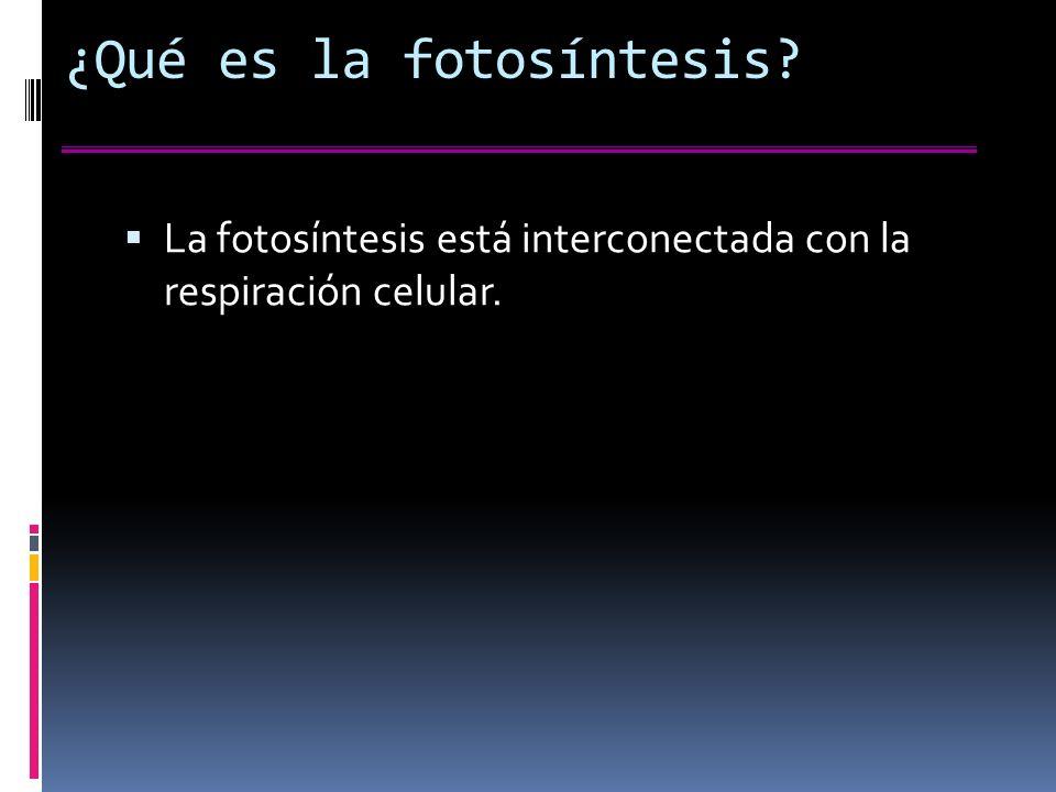 ¿Qué es la fotosíntesis? La fotosíntesis está interconectada con la respiración celular.