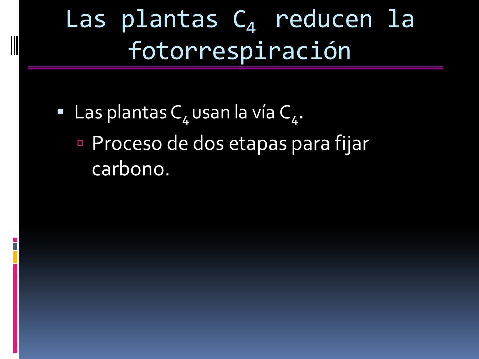 Las plantas C 4 reducen la fotorrespiración Las plantas C 4 usan la vía C 4.