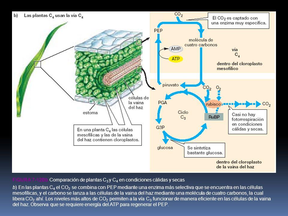 FIGURA 7-12Bb Comparación de plantas C 3 y C 4 en condiciones cálidas y secas b) En las plantas C 4 el CO 2 se combina con PEP mediante una enzima más selectiva que se encuentra en las células mesofílicas, y el carbono se lanza a las células de la vaina del haz mediante una molécula de cuatro carbonos, la cual libera CO 2 ahí.