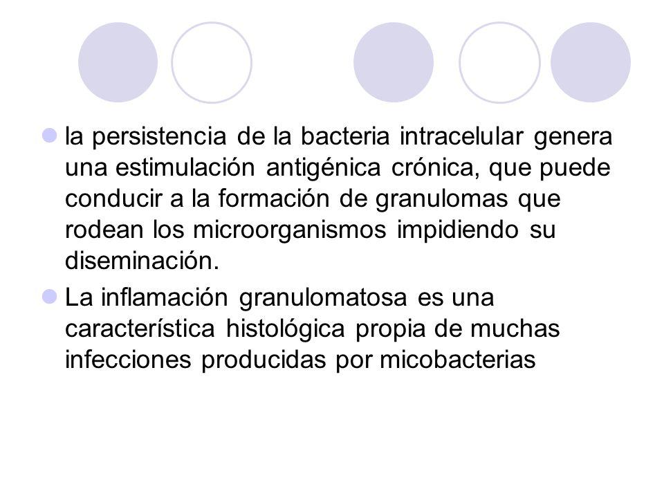 la persistencia de la bacteria intracelular genera una estimulación antigénica crónica, que puede conducir a la formación de granulomas que rodean los