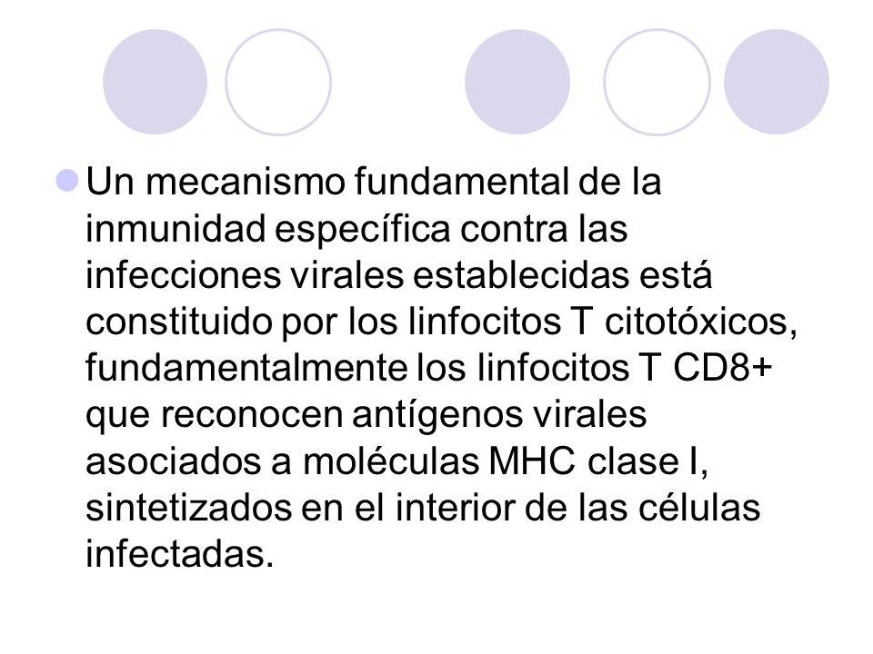 Un mecanismo fundamental de la inmunidad específica contra las infecciones virales establecidas está constituido por los linfocitos T citotóxicos, fun