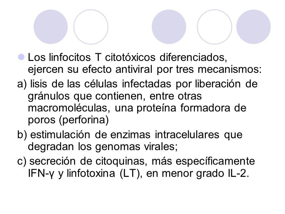 Los linfocitos T citotóxicos diferenciados, ejercen su efecto antiviral por tres mecanismos: a) lisis de las células infectadas por liberación de grán