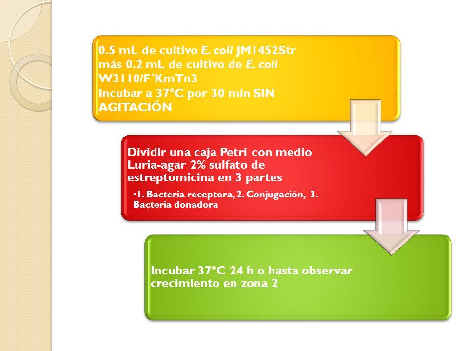 0.5 mL de cultivo E.coli JM1452Str más 0.2 mL de cultivo de E.