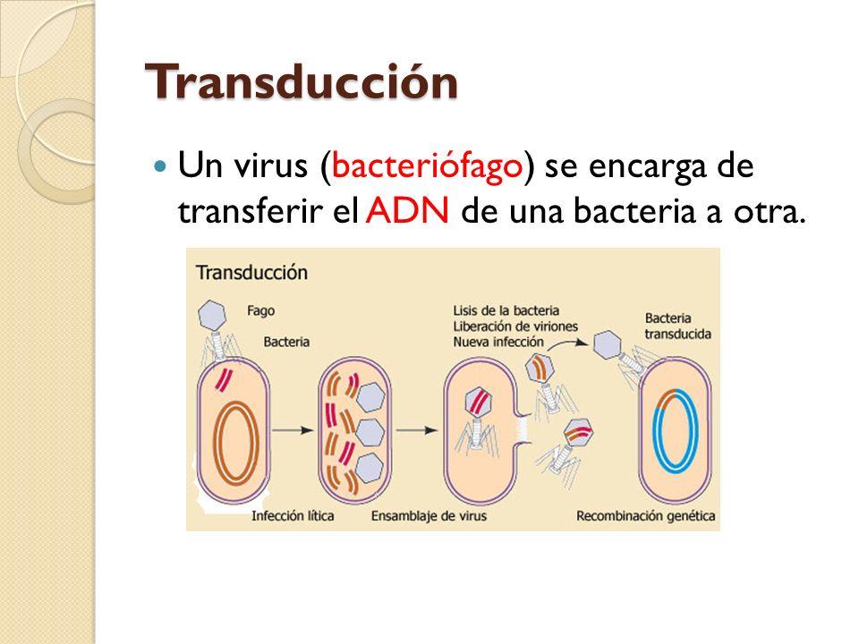 Transducción Un virus (bacteriófago) se encarga de transferir el ADN de una bacteria a otra.