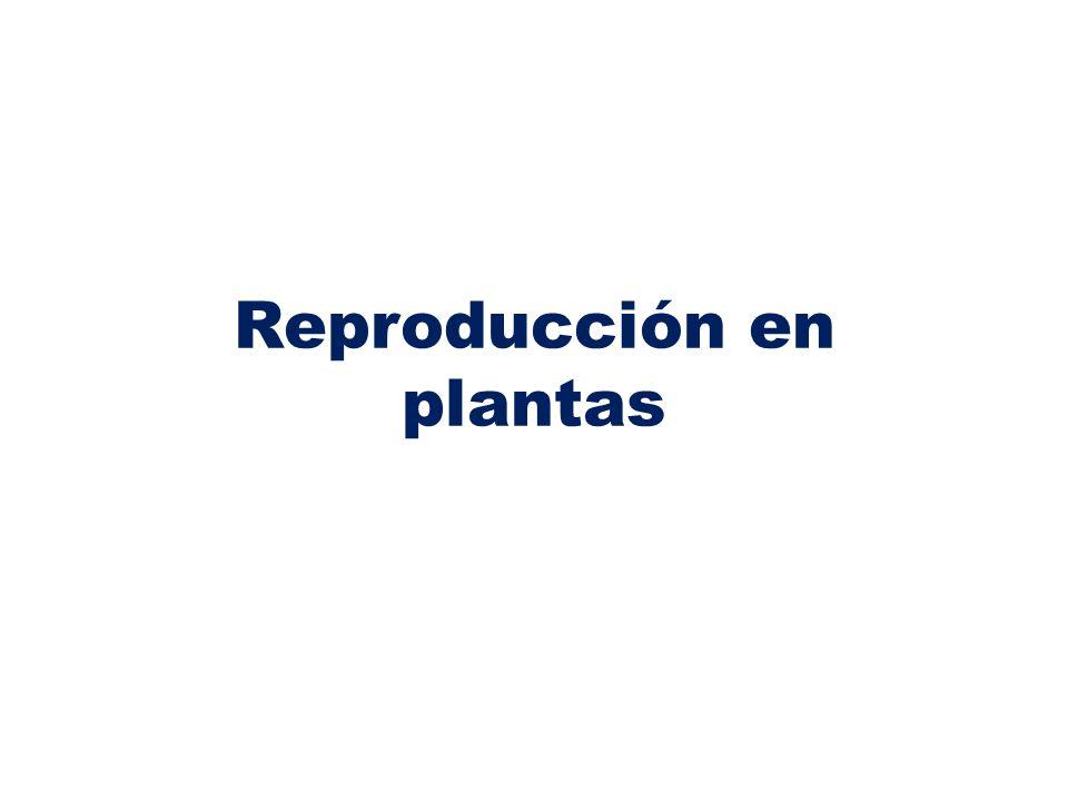 Pistilo: Es el órgano reproductor femenino, en su interior están los óvulos.