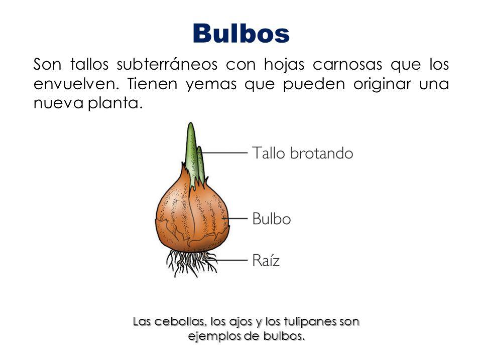 Bulbos Son tallos subterráneos con hojas carnosas que los envuelven. Tienen yemas que pueden originar una nueva planta. Las cebollas, los ajos y los t