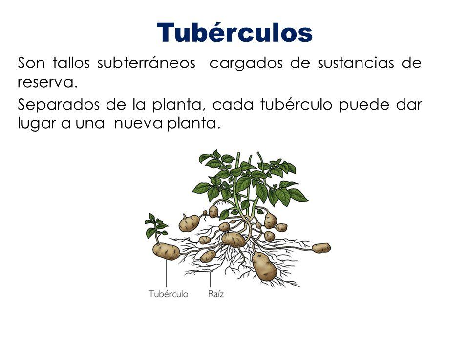 Tubérculos Son tallos subterráneos cargados de sustancias de reserva. Separados de la planta, cada tubérculo puede dar lugar a una nueva planta.