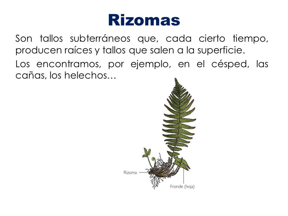 Rizomas Son tallos subterráneos que, cada cierto tiempo, producen raíces y tallos que salen a la superficie. Los encontramos, por ejemplo, en el céspe