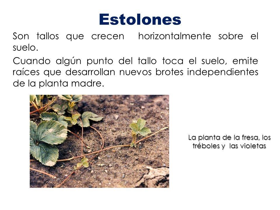 Estolones Son tallos que crecen horizontalmente sobre el suelo. Cuando algún punto del tallo toca el suelo, emite raíces que desarrollan nuevos brotes