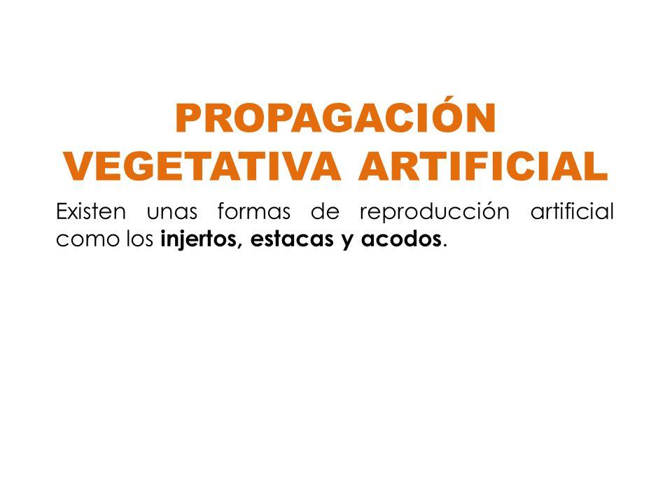 Existen unas formas de reproducción artificial como los injertos, estacas y acodos. PROPAGACIÓN VEGETATIVA ARTIFICIAL
