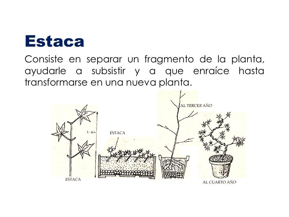 Estaca Consiste en separar un fragmento de la planta, ayudarle a subsistir y a que enraíce hasta transformarse en una nueva planta.