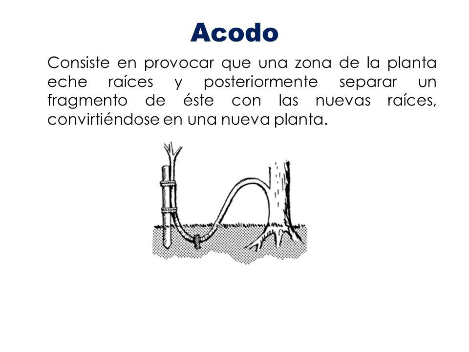 Acodo Consiste en provocar que una zona de la planta eche raíces y posteriormente separar un fragmento de éste con las nuevas raíces, convirtiéndose e