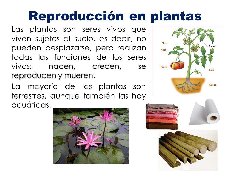 nacen, crecen, se reproducen y mueren Las plantas son seres vivos que viven sujetos al suelo, es decir, no pueden desplazarse, pero realizan todas las