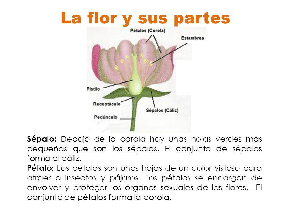 La flor y sus partes Sépalo: Debajo de la corola hay unas hojas verdes más pequeñas que son los sépalos. El conjunto de sépalos forma el cáliz. Pétalo