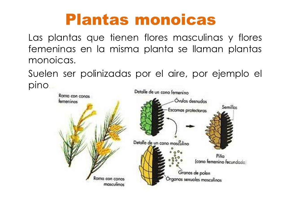 Plantas monoicas Las plantas que tienen flores masculinas y flores femeninas en la misma planta se llaman plantas monoicas. Suelen ser polinizadas por