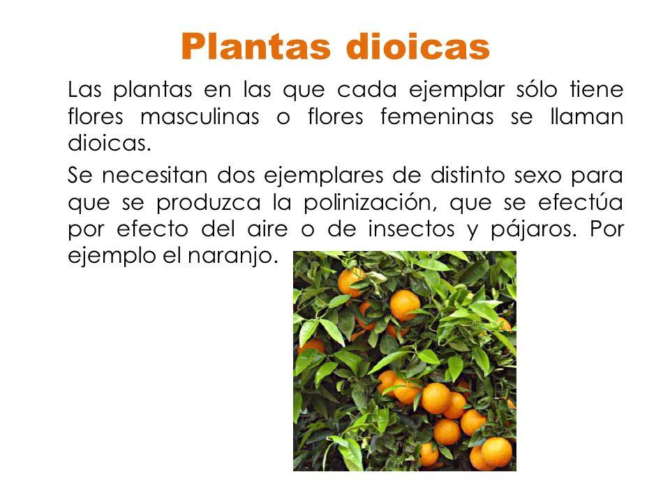 Plantas dioicas Las plantas en las que cada ejemplar sólo tiene flores masculinas o flores femeninas se llaman dioicas. Se necesitan dos ejemplares de