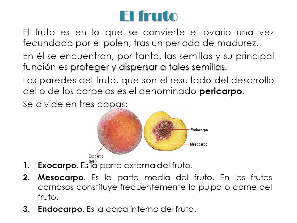 El fruto El fruto es en lo que se convierte el ovario una vez fecundado por el polen, tras un periodo de madurez. proteger y dispersar a tales semilla