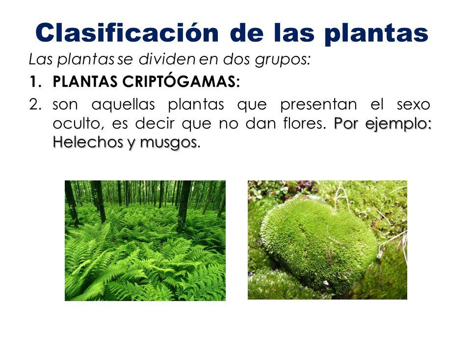 Clasificación de las plantas Las plantas se dividen en dos grupos: 1. PLANTAS CRIPTÓGAMAS: Por ejemplo: Helechos y musgos 2.son aquellas plantas que p