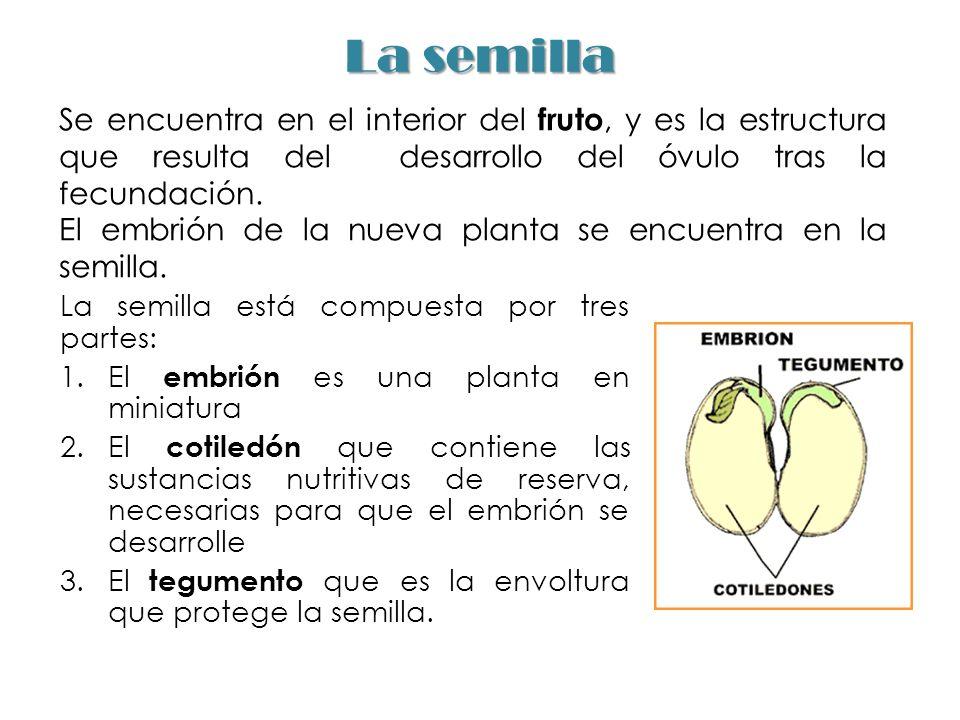 La semilla La semilla está compuesta por tres partes: 1.El embrión es una planta en miniatura 2.El cotiledón que contiene las sustancias nutritivas de