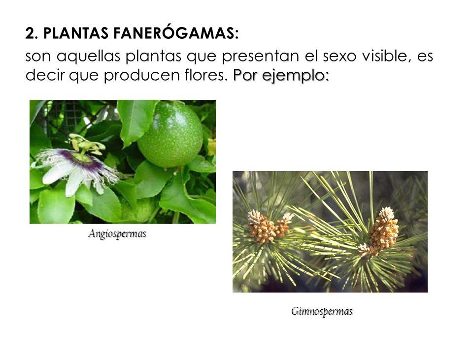2. PLANTAS FANERÓGAMAS: Por ejemplo: son aquellas plantas que presentan el sexo visible, es decir que producen flores. Por ejemplo: Gimnospermas Angio