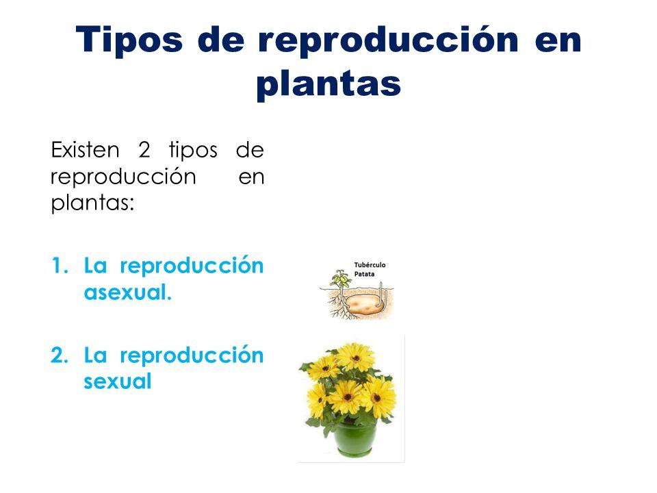 Tipos de reproducción en plantas Existen 2 tipos de reproducción en plantas: 1.La reproducción asexual. 2.La reproducción sexual