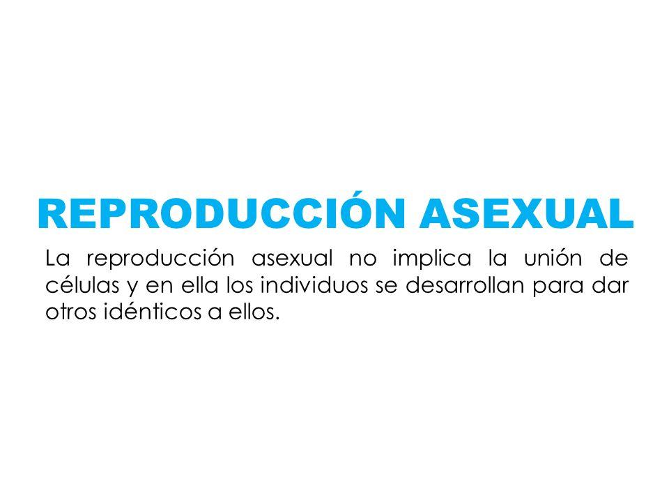 REPRODUCCIÓN ASEXUAL La reproducción asexual no implica la unión de células y en ella los individuos se desarrollan para dar otros idénticos a ellos.