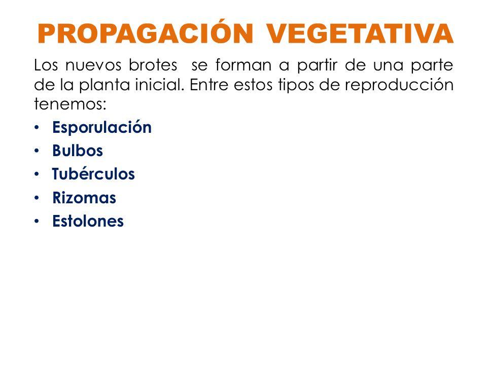 Esporulación A partir de una célula de un individuo, cuyo núcleo se divide repetidamente, se originan varias células hijas llamadas esporas.