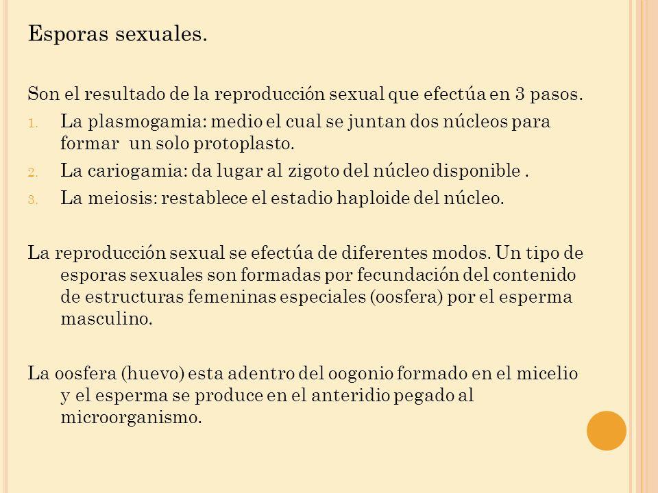 Esporas sexuales. Son el resultado de la reproducción sexual que efectúa en 3 pasos. 1. La plasmogamia: medio el cual se juntan dos núcleos para forma