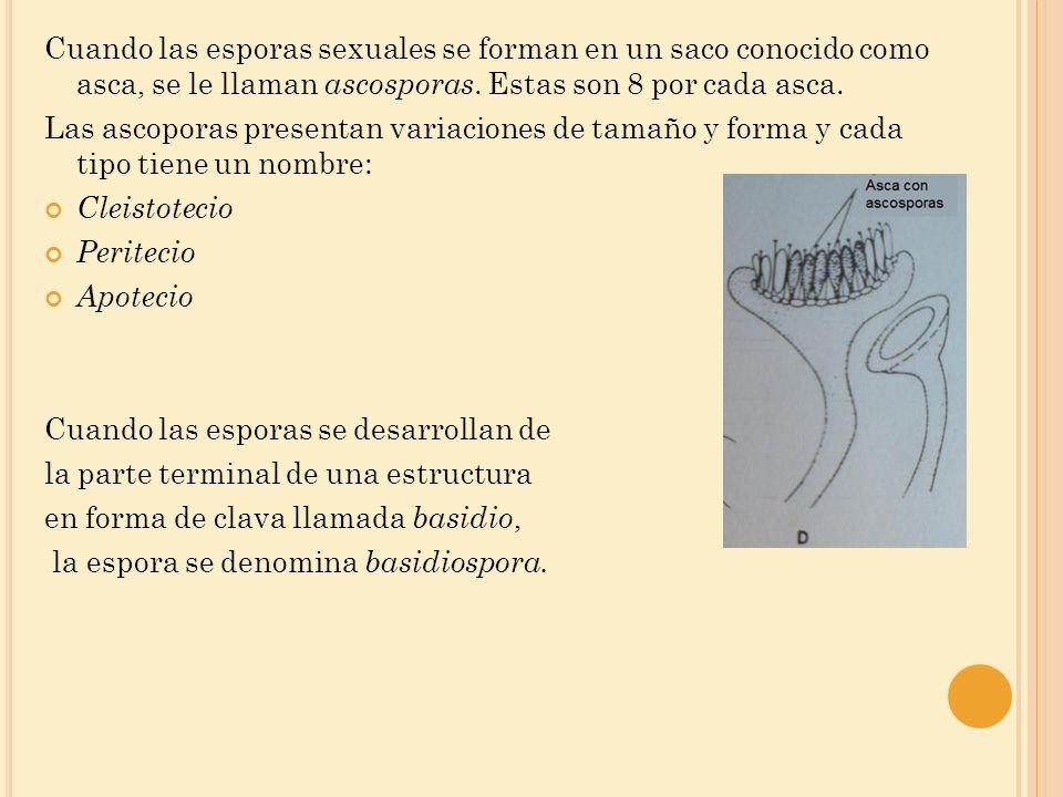 Cuando las esporas sexuales se forman en un saco conocido como asca, se le llaman ascosporas. Estas son 8 por cada asca. Las ascoporas presentan varia