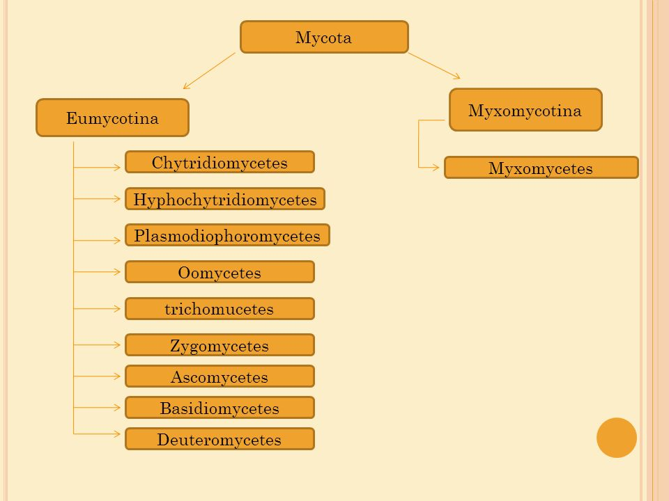 Mycota Eumycotina Chytridiomycetes Hyphochytridiomycetes Plasmodiophoromycetes Oomycetes trichomucetes Zygomycetes Ascomycetes Basidiomycetes Deuterom