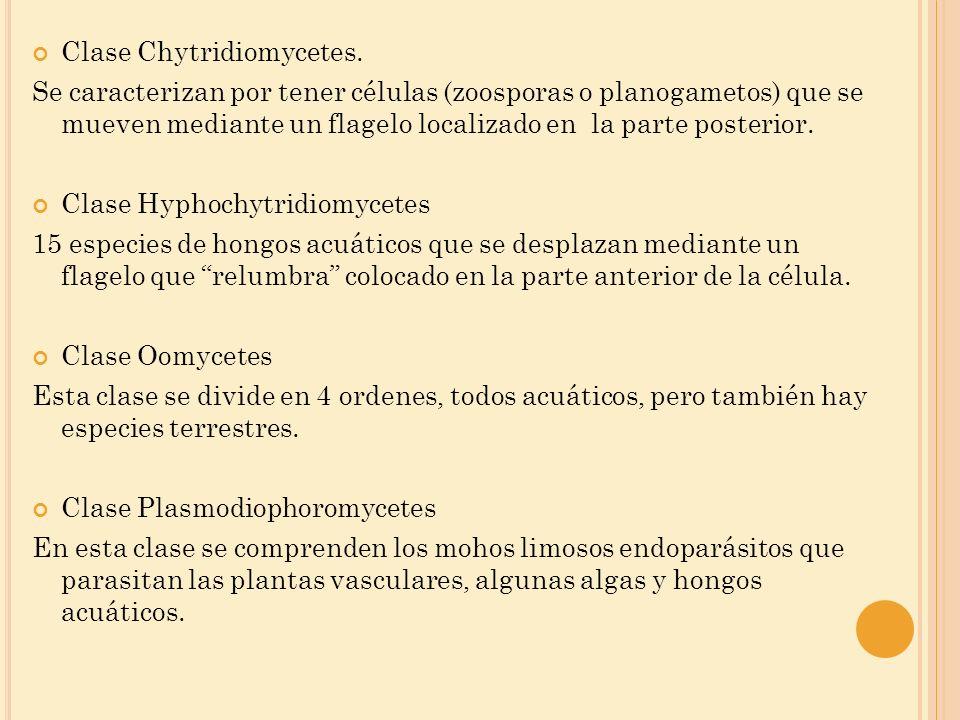 Clase Chytridiomycetes. Se caracterizan por tener células (zoosporas o planogametos) que se mueven mediante un flagelo localizado en la parte posterio