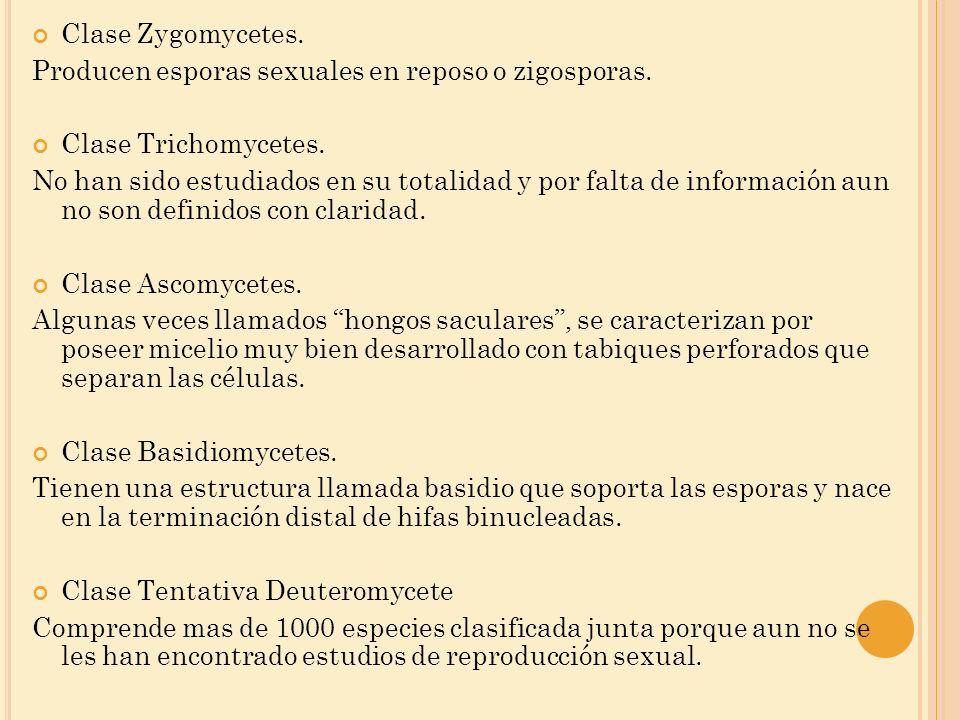 Clase Zygomycetes. Producen esporas sexuales en reposo o zigosporas. Clase Trichomycetes. No han sido estudiados en su totalidad y por falta de inform