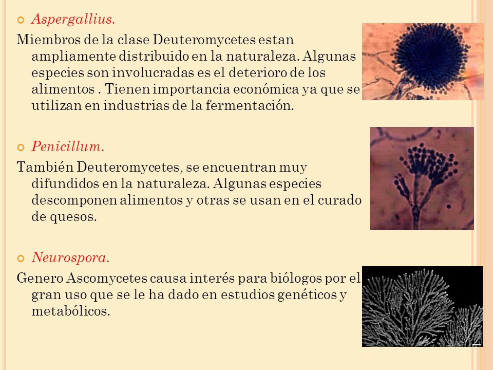 Aspergallius. Miembros de la clase Deuteromycetes estan ampliamente distribuido en la naturaleza. Algunas especies son involucradas es el deterioro de