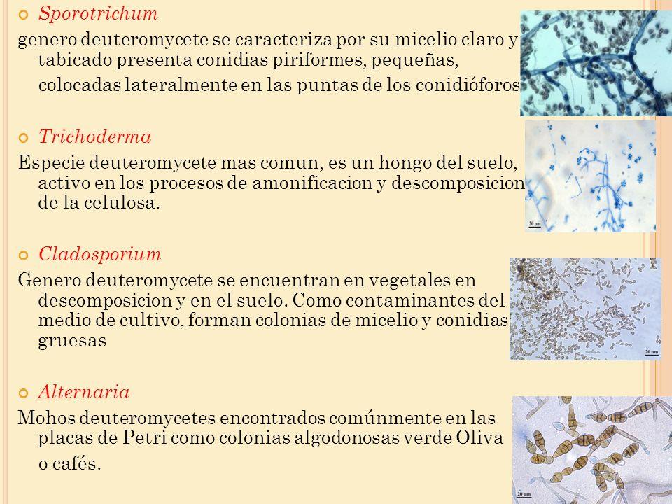 Sporotrichum genero deuteromycete se caracteriza por su micelio claro y tabicado presenta conidias piriformes, pequeñas, colocadas lateralmente en las