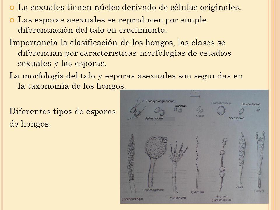 La sexuales tienen núcleo derivado de células originales. Las esporas asexuales se reproducen por simple diferenciación del talo en crecimiento. Impor