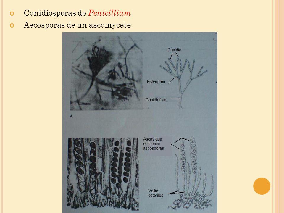 Conidiosporas de Penicillium Ascosporas de un ascomycete