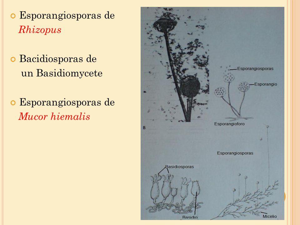M ORFOLOGÍA DEL TALO ( THALLUS ) Compuestos de filamentos tubulares microscópicos llamados hifas.