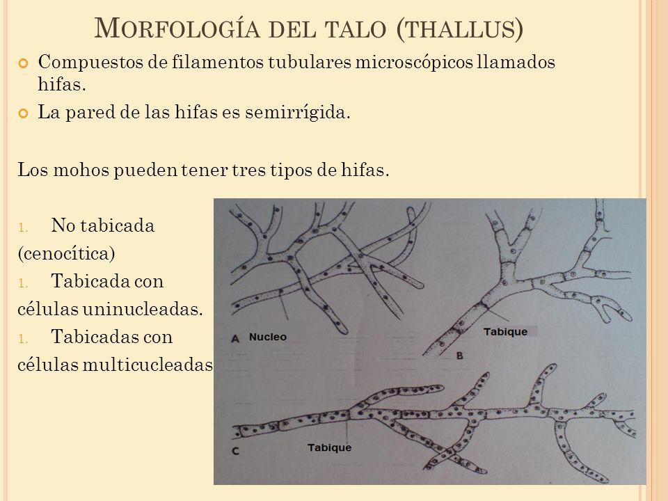 M ORFOLOGÍA DEL TALO ( THALLUS ) Compuestos de filamentos tubulares microscópicos llamados hifas. La pared de las hifas es semirrígida. Los mohos pued