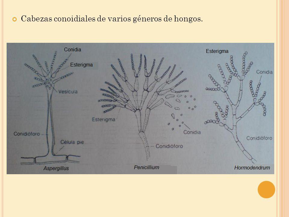 Algunos géneros producen dos clases de conidios de tamaños diferentes Las pequeñas forman una célula llamada microconidias.