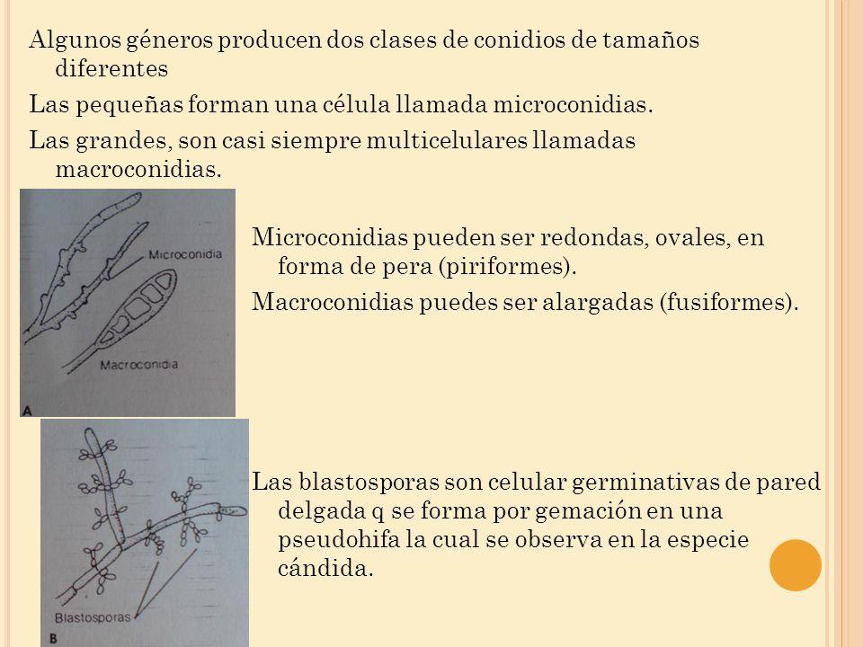 Algunos géneros producen dos clases de conidios de tamaños diferentes Las pequeñas forman una célula llamada microconidias. Las grandes, son casi siem