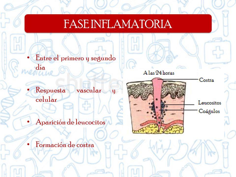 Entre el primero y segundo día Respuesta vascular y celular Aparición de leucocitos Formación de costra FASE INFLAMATORIA