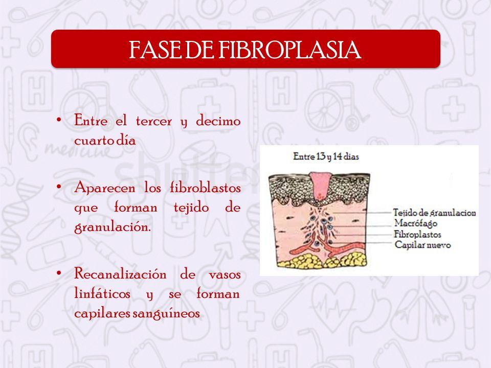 Entre el tercer y decimo cuarto día Aparecen los fibroblastos que forman tejido de granulación. Recanalización de vasos linfáticos y se forman capilar