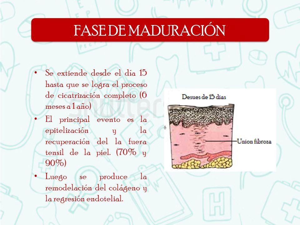 Se extiende desde el día 15 hasta que se logra el proceso de cicatrización completo (6 meses a 1 año) El principal evento es la epitelización y la rec