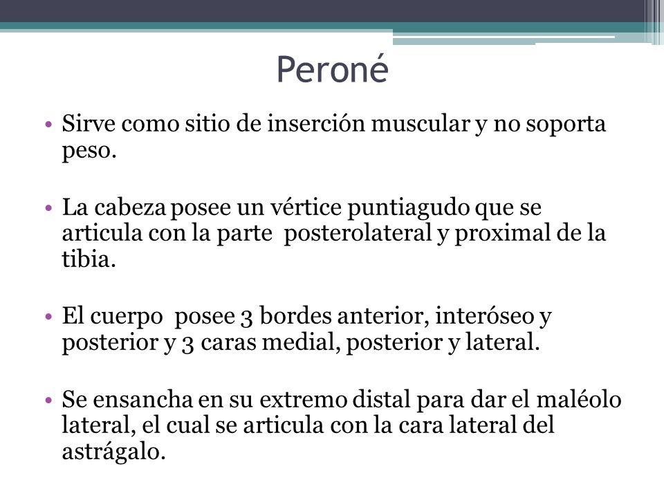 Peroné Sirve como sitio de inserción muscular y no soporta peso. La cabeza posee un vértice puntiagudo que se articula con la parte posterolateral y p