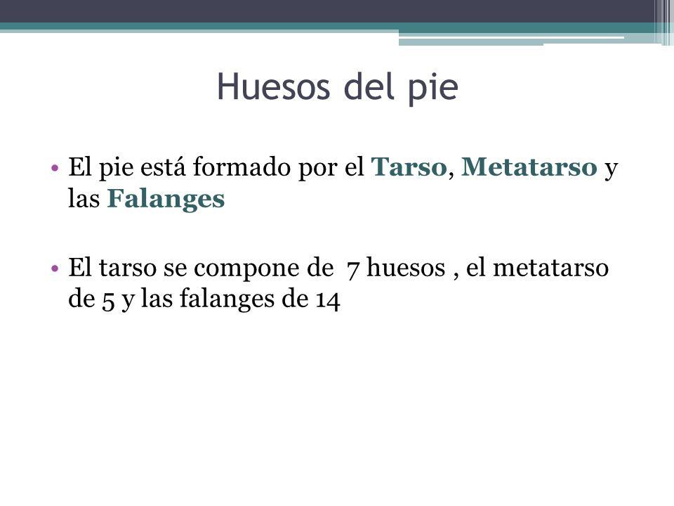 Huesos del pie El pie está formado por el Tarso, Metatarso y las Falanges El tarso se compone de 7 huesos, el metatarso de 5 y las falanges de 14