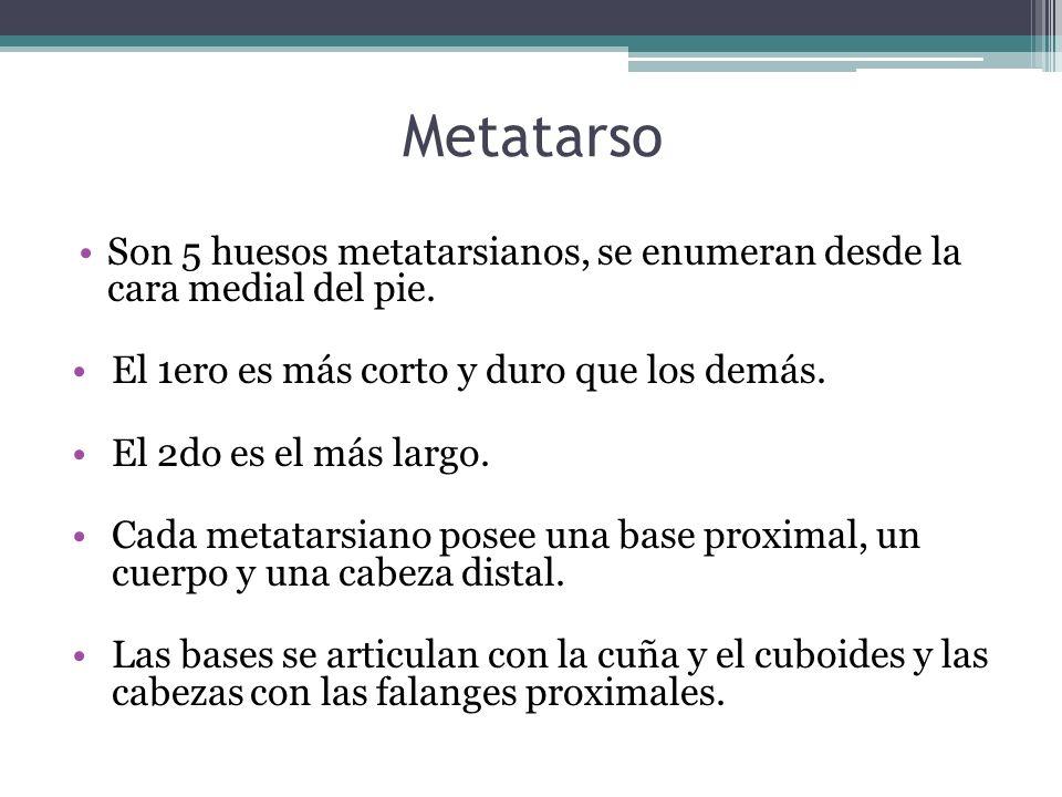 Metatarso Son 5 huesos metatarsianos, se enumeran desde la cara medial del pie. El 1ero es más corto y duro que los demás. El 2do es el más largo. Cad
