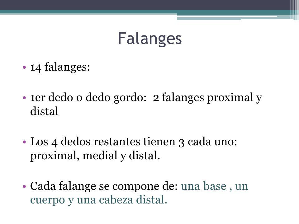 Falanges 14 falanges: 1er dedo o dedo gordo: 2 falanges proximal y distal Los 4 dedos restantes tienen 3 cada uno: proximal, medial y distal. Cada fal