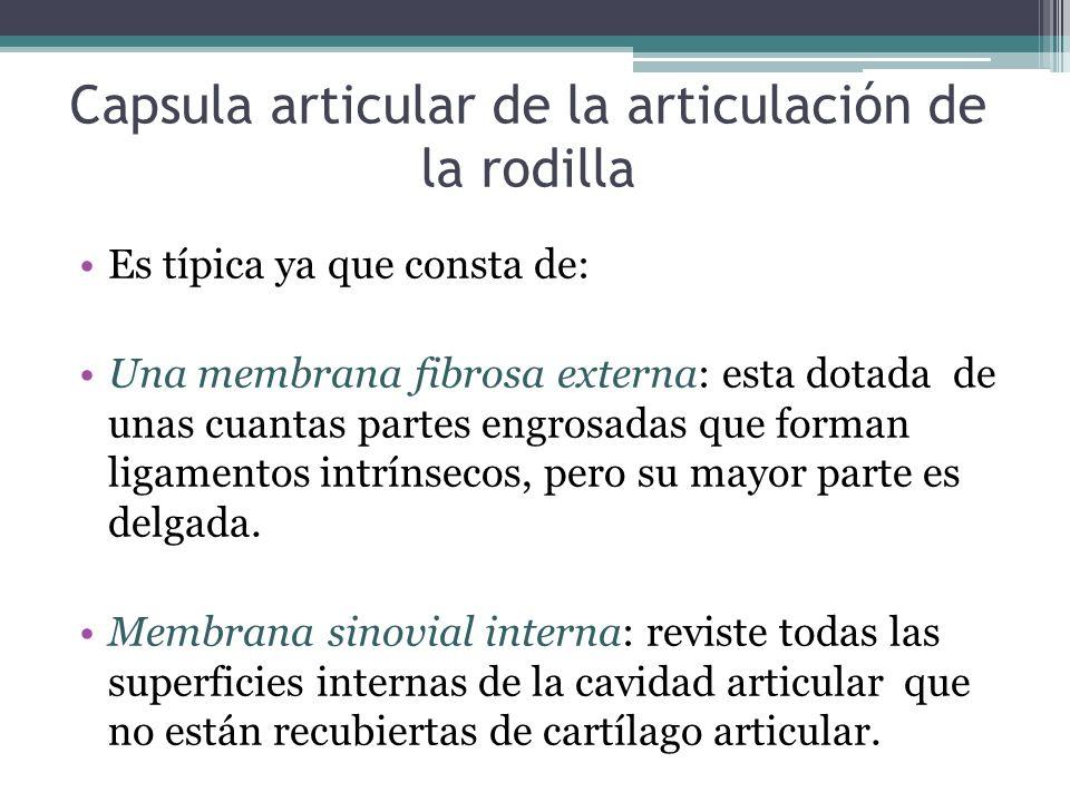 Capsula articular de la articulación de la rodilla Es típica ya que consta de: Una membrana fibrosa externa: esta dotada de unas cuantas partes engros