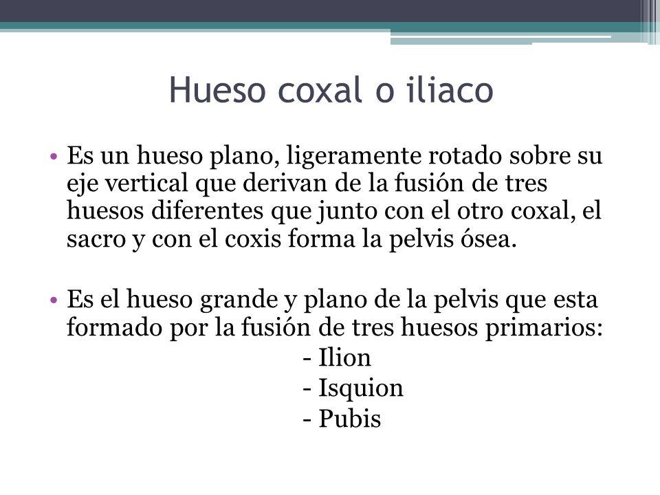 Hueso coxal o iliaco Es un hueso plano, ligeramente rotado sobre su eje vertical que derivan de la fusión de tres huesos diferentes que junto con el o